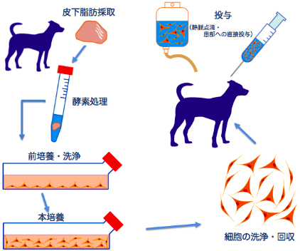 脂肪幹細胞療法の手順