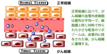 ICG修飾リポソームを用いた温熱療法 説明:正常組織に比べて、がん組織の血管内皮細胞は整列が不均一で、細胞膜と同じ材料で作られた小さな粒径のリポゾームは、血管内に投与された後、がん組織に蓄積する。
